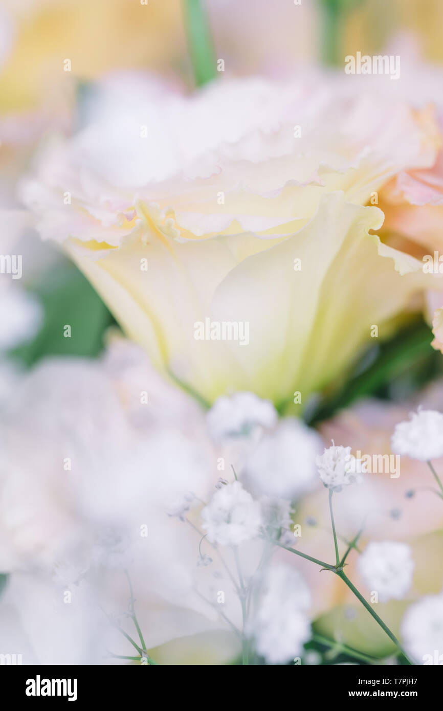 Beautiful and gentle pink Eustoma flowers, Lisianthus, tulip gentian, eustomas. Close up, vertical composition, selective focus - Stock Image