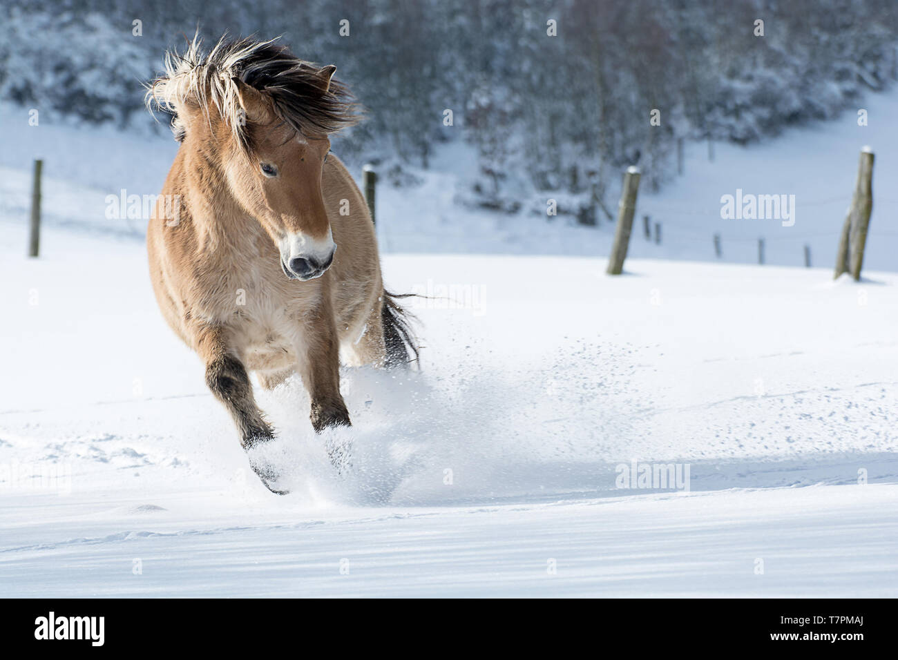 A horse of the breed Haflinger gallops in the snow. The sun is shining, the horse is throwing up a lot of snow. The mane flies. Copy Space - Stock Image