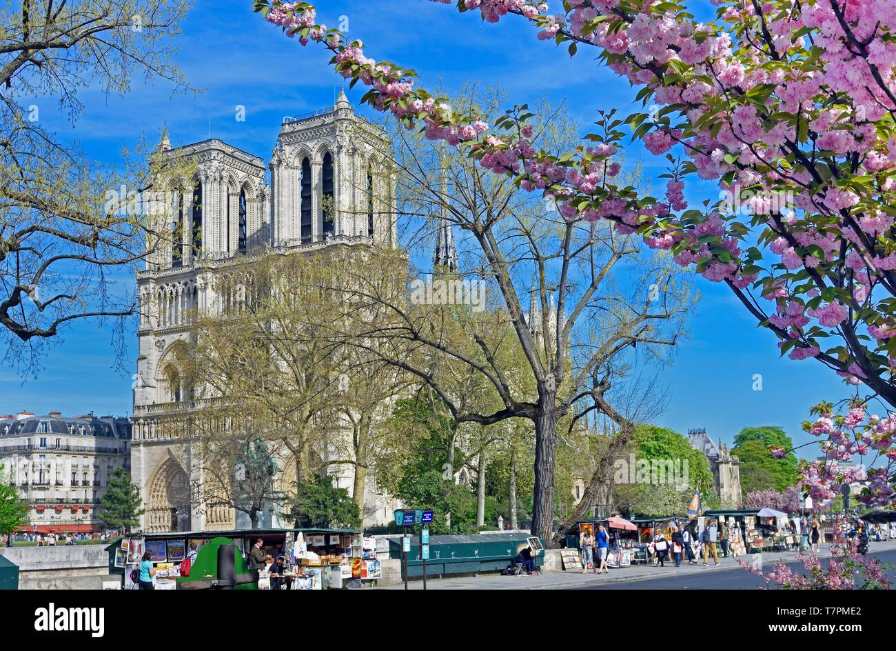 France, Paris, area listed as World Heritage by UNESCO, île de la Cité (City Island), Notre Dame cathedral with a japenese cherry tree (Prunus serrulata) in blossom - Stock Image