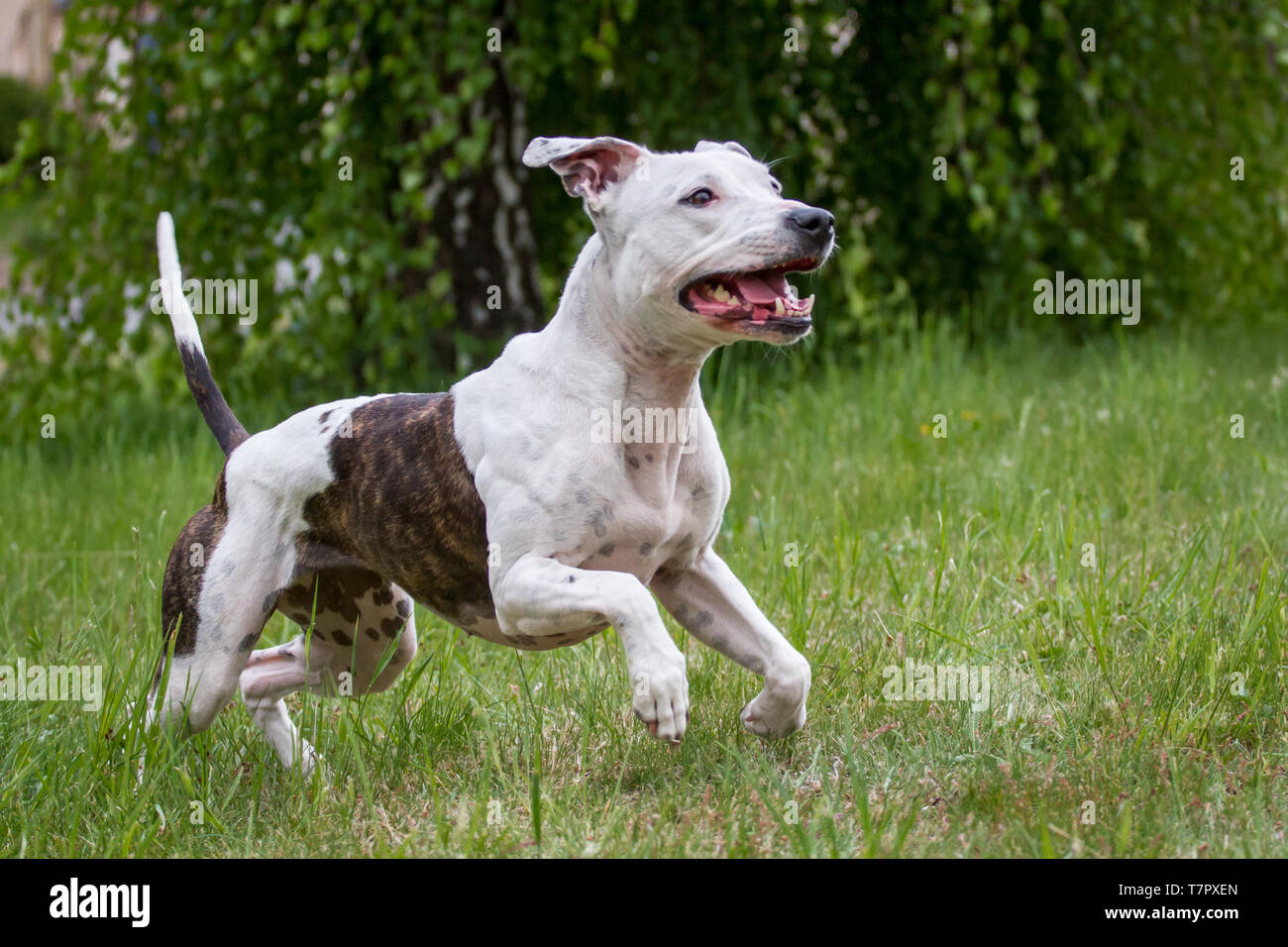 White and brindle American Pit Bull Terrier female dog running - Stock Image
