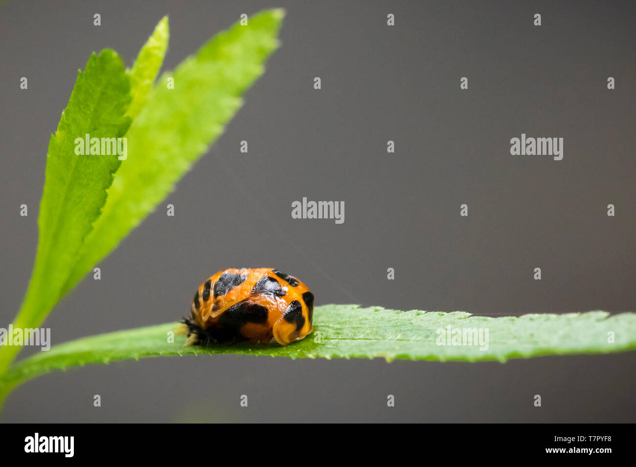 Ladybug insect larva or pupacloseup. Pupal stage on green vegetation closeup. - Stock Image