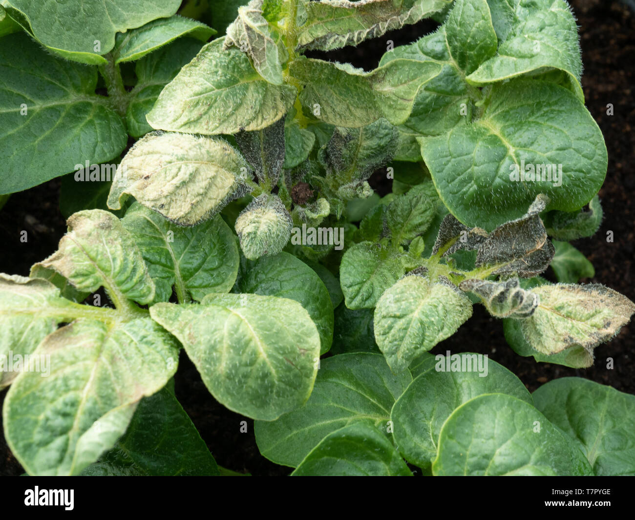 Close up of potato leaves showing damage caused by frost - Stock Image