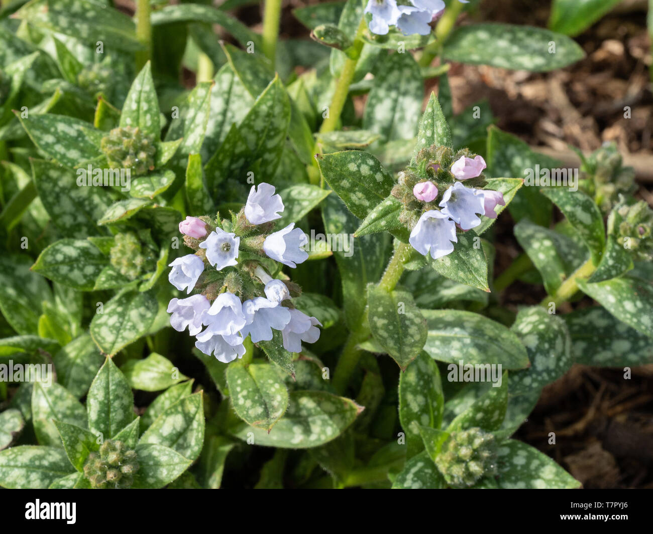 A close up of the flowers on Pulmonaria Opal - Stock Image