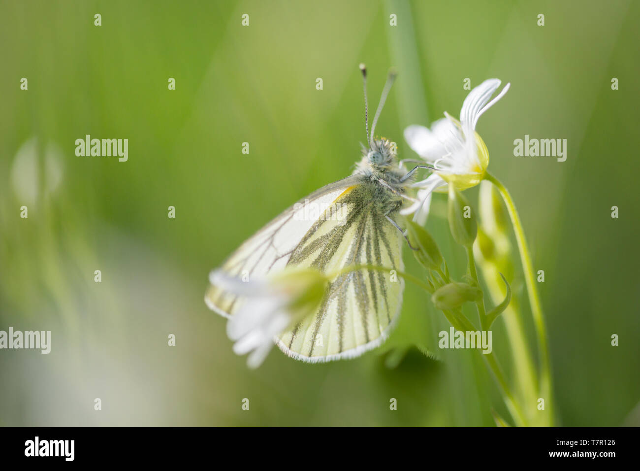 Green-veined white butterfly roosting on a small white stitchwort wild flower in a summer meadow in the English countryside in a protected environment. - Stock Image