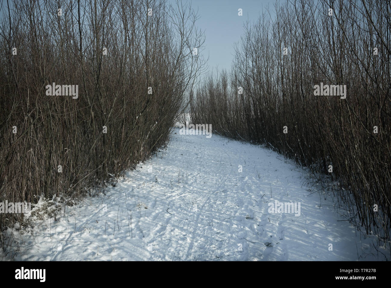 Snowy path amidst some bushes. - Stock Image