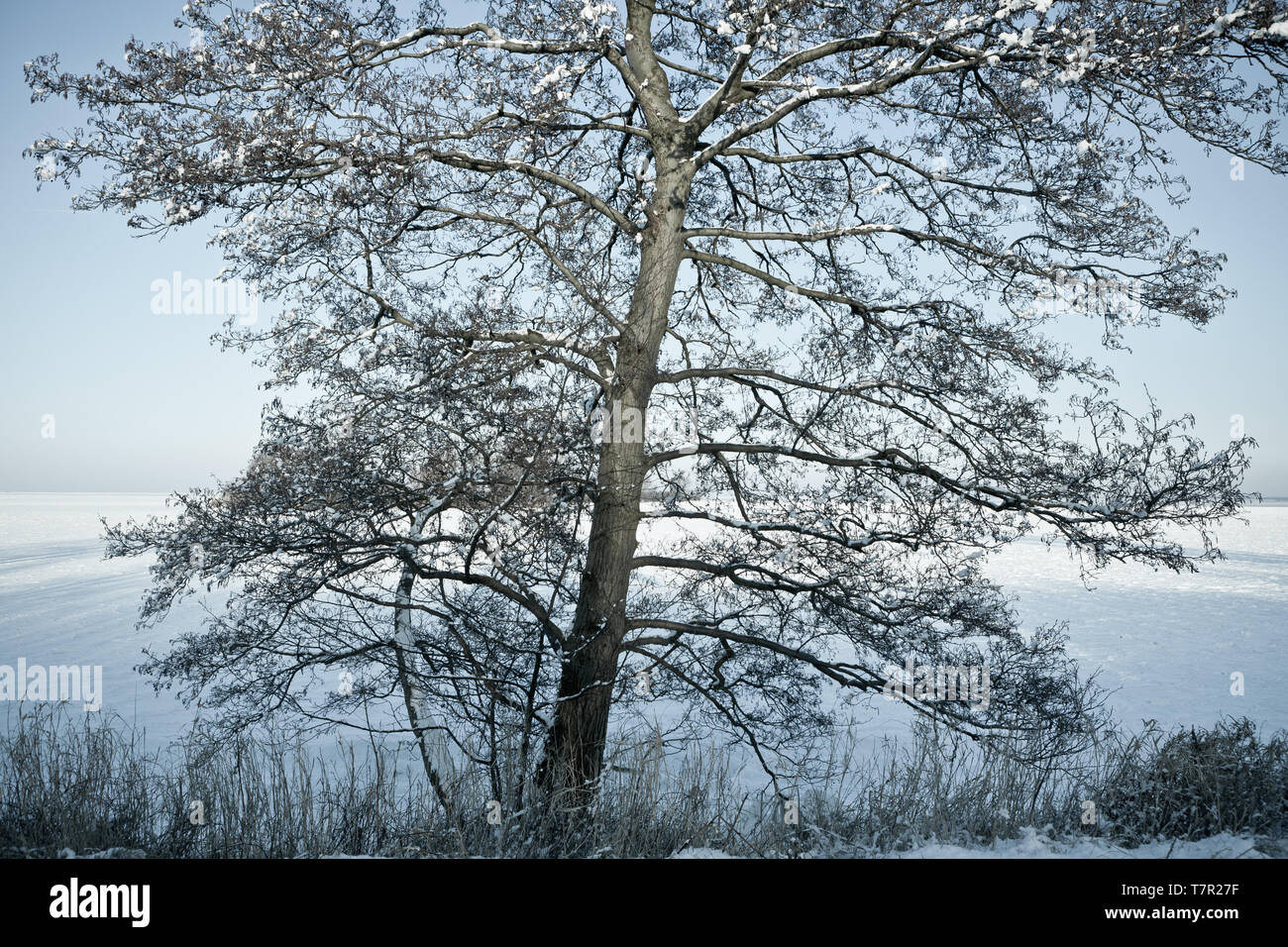 Looking at the lake from behind a snowy tree - Stock Image