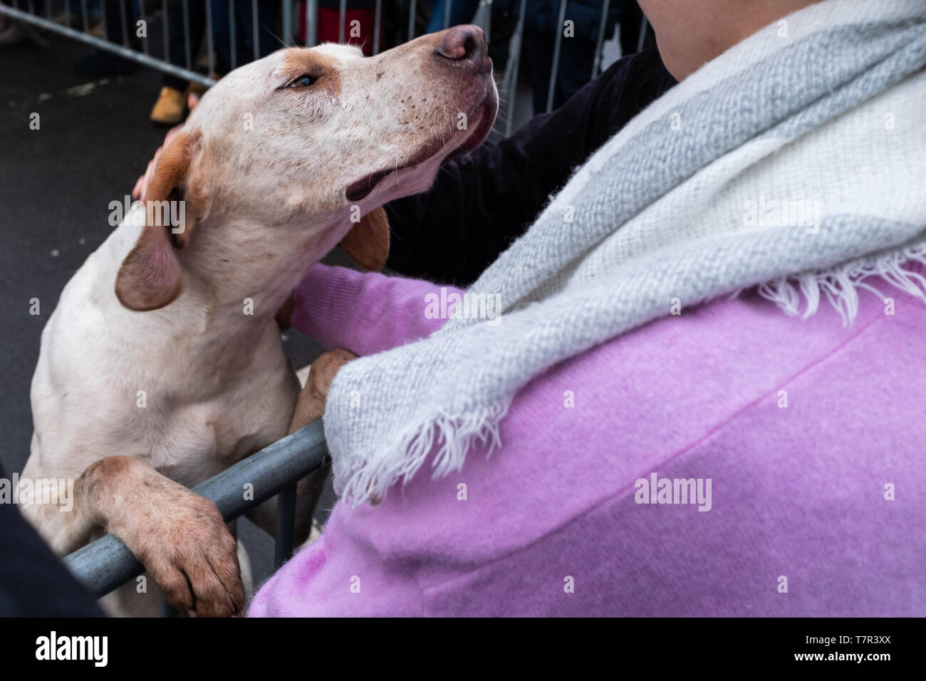 A fox hound looking for some love and a cuddle from a spectator at the start of the Boxing Day Hunt, Bawtry, South Yorkshire, United Kingdom - Stock Image