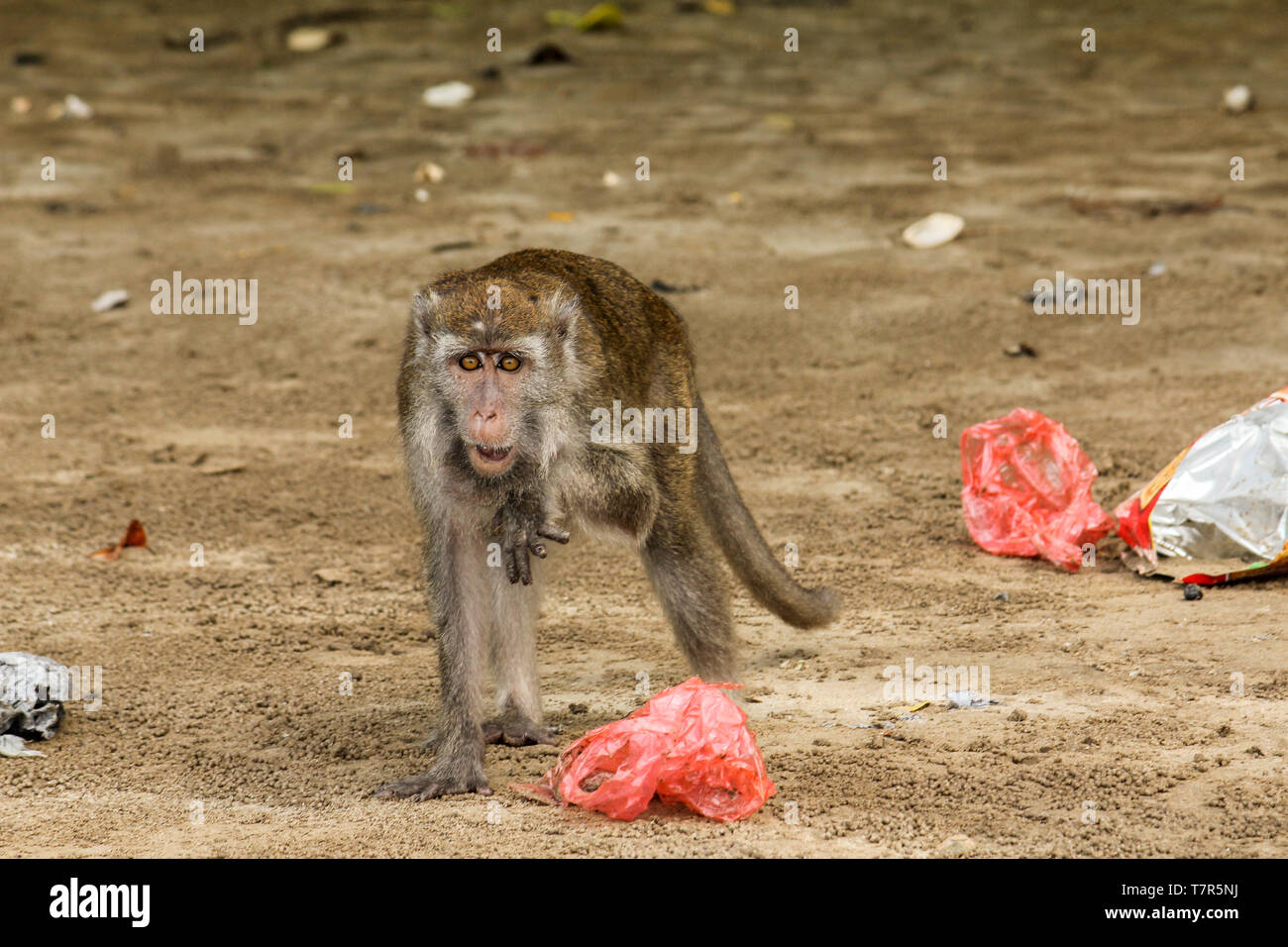 A small macaque gibbon at Bako, National Park, Borneo picks through the rubbish and plastic bags on the beach. - Stock Image