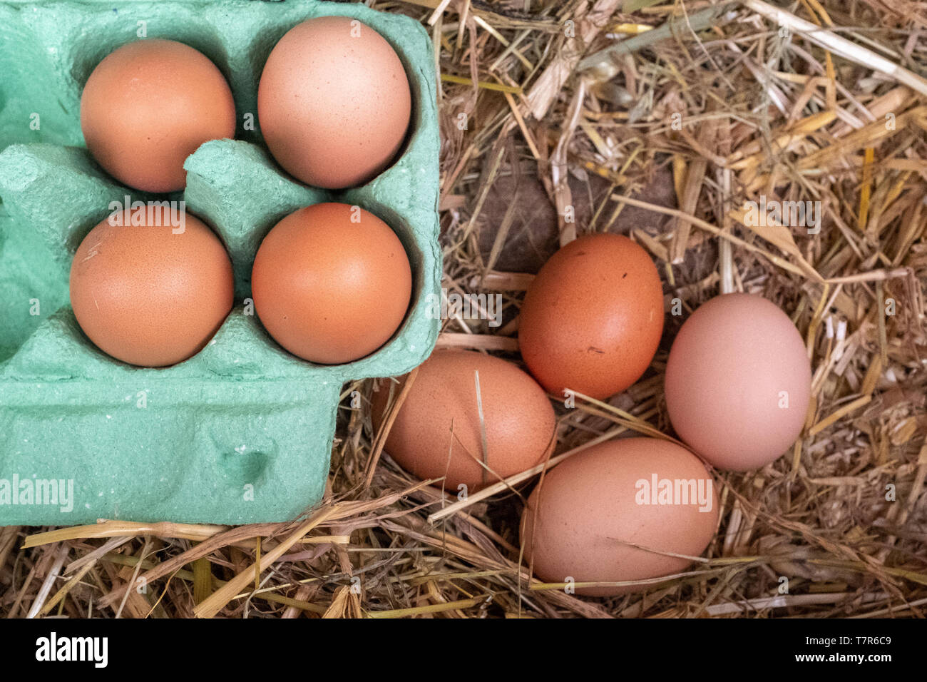 A close up of a collection of brown free range chickens eggs, 4 in a box and 4 still to be collected sitting on a bed of straw. Stock Photo