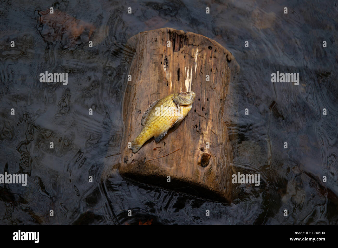 An unusual event of a dead fish on a floating log in the middle of the water. - Stock Image