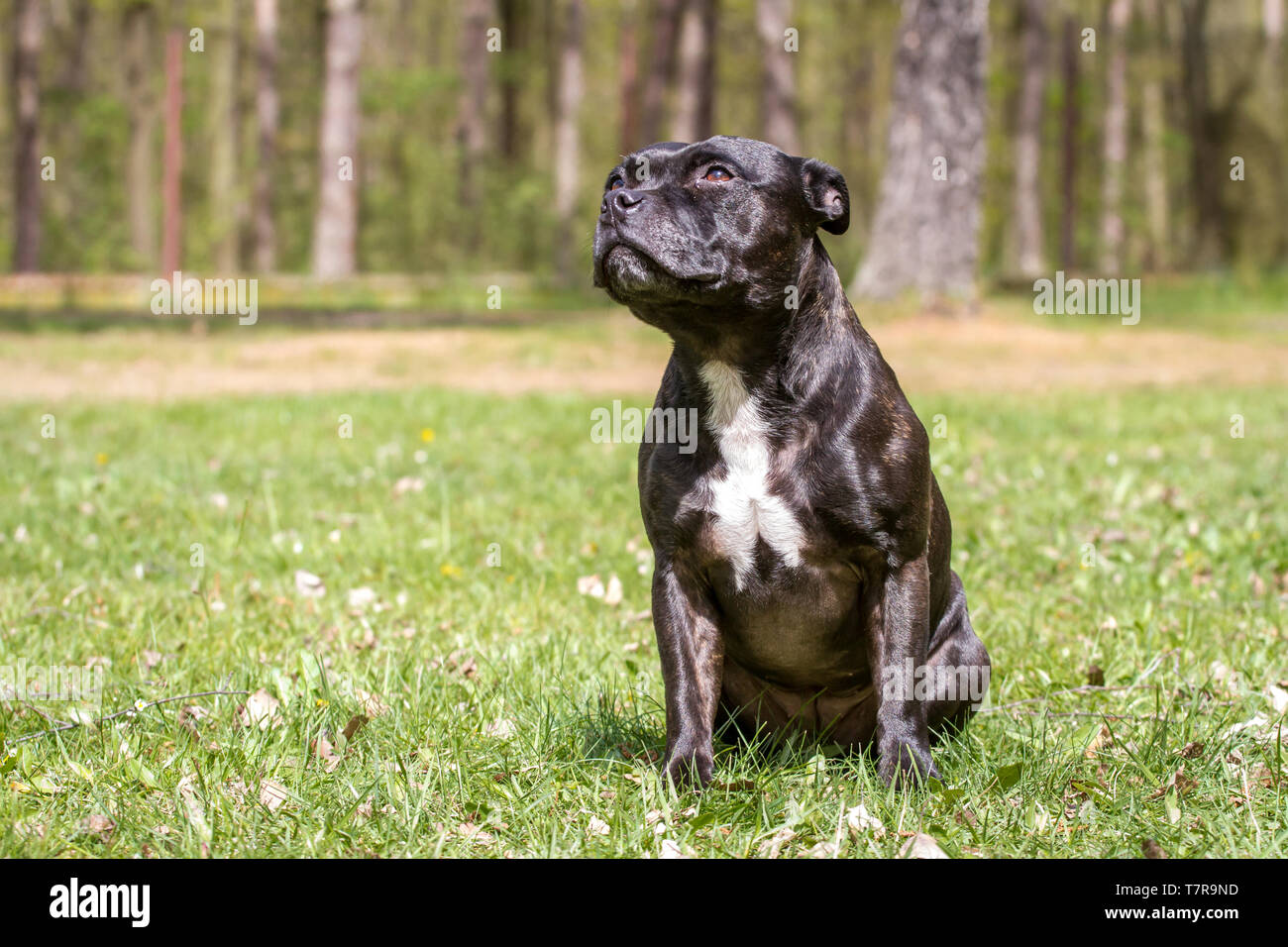 Staffordshire Bullterrier sitting on a meadow - Stock Image