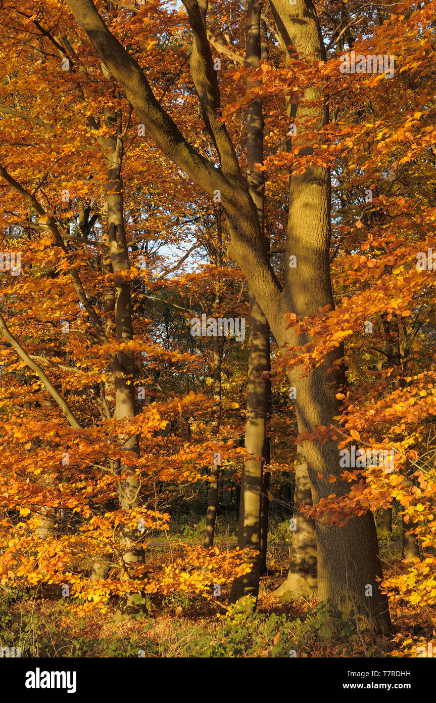 Rotbuchen im Herbstkleid - Stock Image
