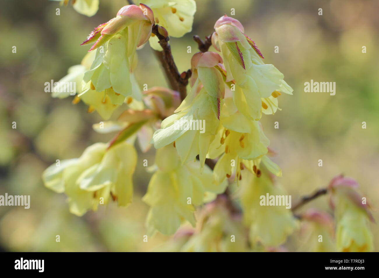 Corylopsis pauciflora. Delicate lemon blossoms of Buttercup witch hazel in early spring - UK - Stock Image