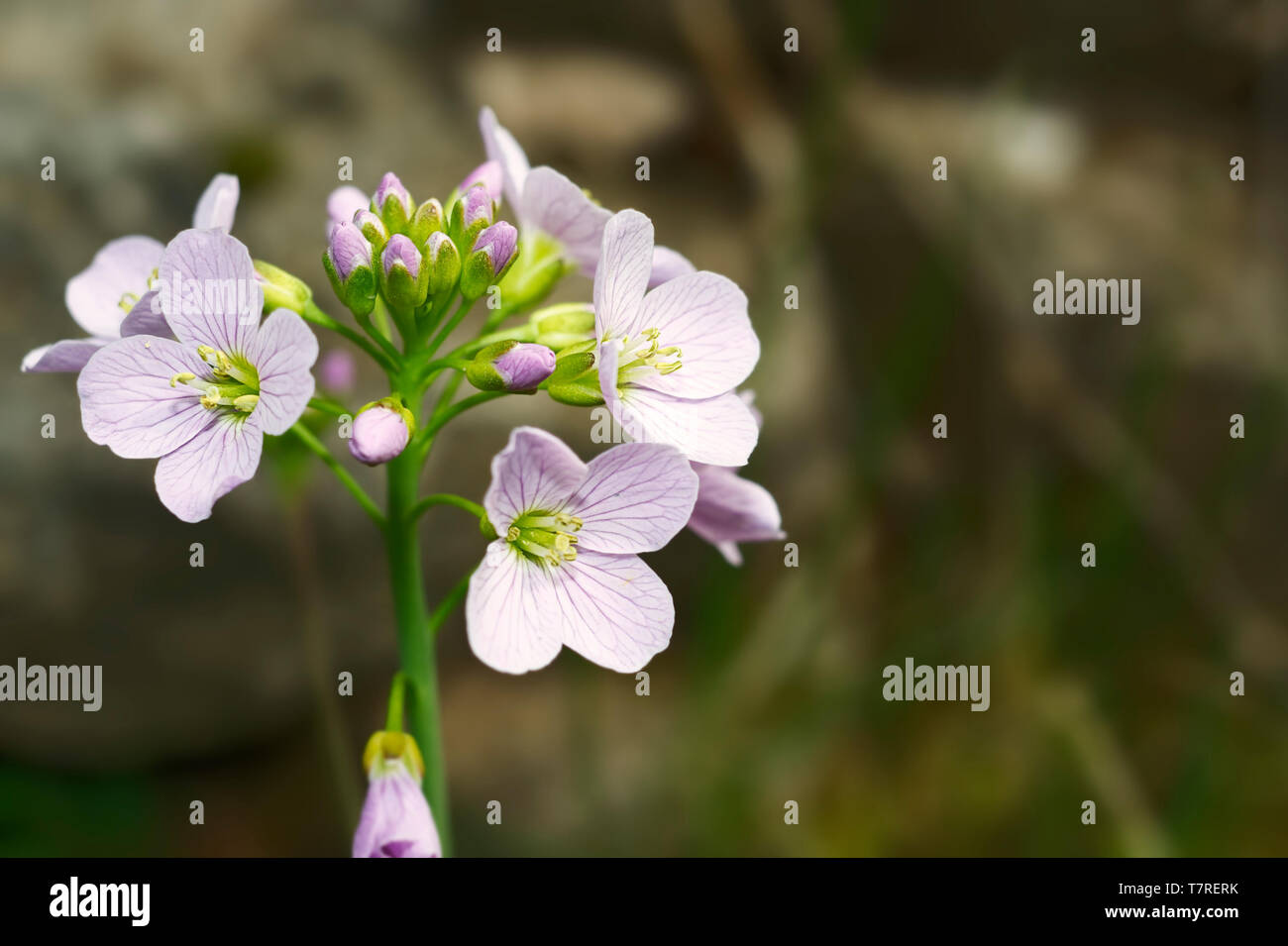Cardamine Pratensis The Cuckooflower Is A Delicate Plant