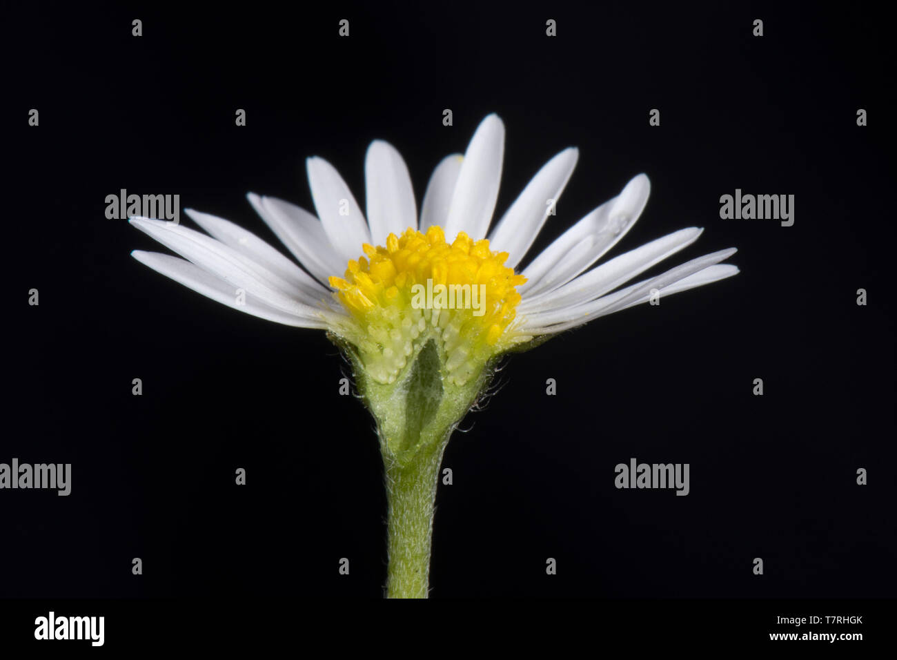 White ray and yellow disk florets (flowers) of a daisy (Bellis perennis) a typical composite flower structure (Asteraceae) - Stock Image