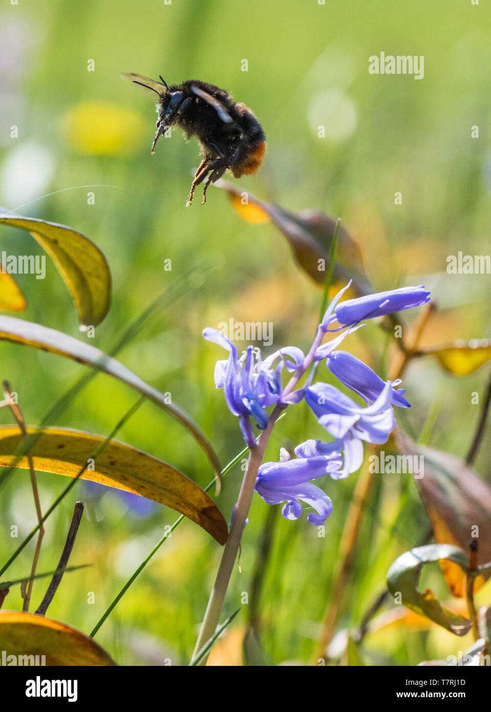 Bumble Bee pollinating a non native Spanish Bluebell. - Stock Image