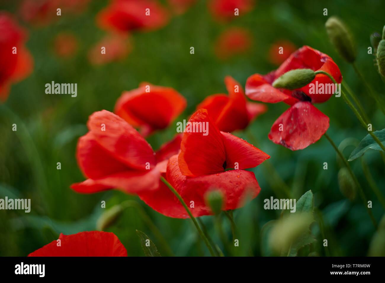 Red poppy flowers. Poppy flowers in the near of munich bavaria germany - Mohnblumen Stock Photo