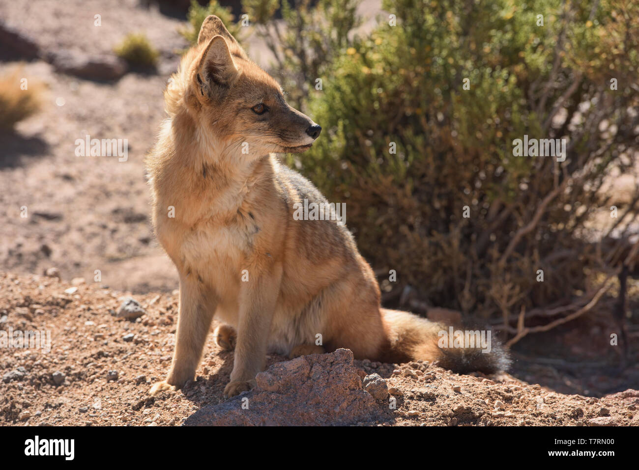 Culpeo lycalopex culpaeus andean fox in the desert san pedro de atacama