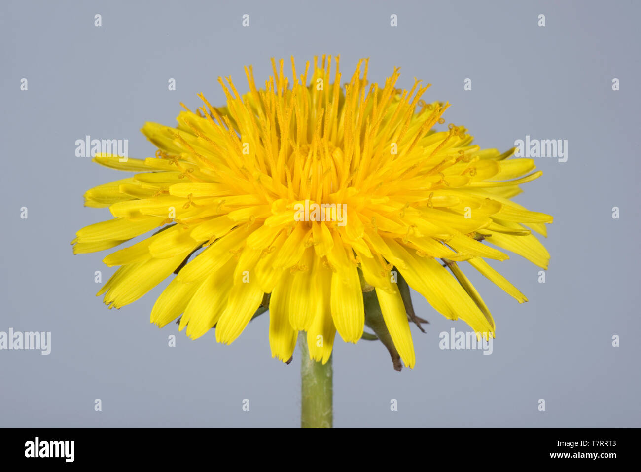 Studio image of a dandelion (Taraxacum officinale) yellow flower to show composite structure of ray and disk florets - Stock Image