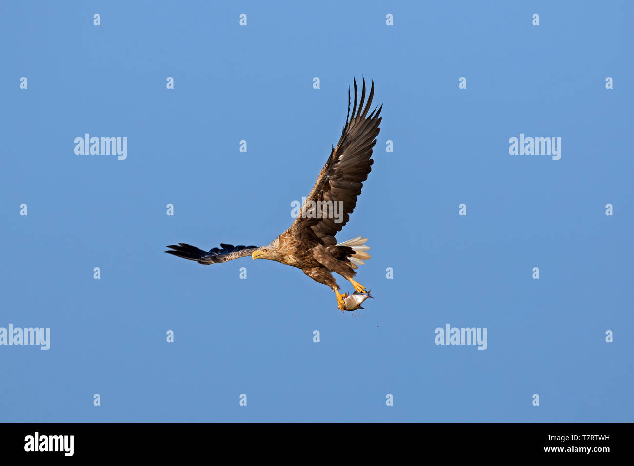 White-tailed eagle / sea eagle / erne (Haliaeetus albicilla) in flight with caught fish from lake in its talons Stock Photo