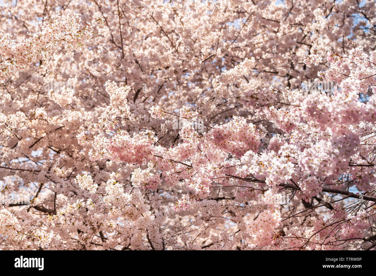 Cherry Blossom Pattern High Resolution Stock Photography And