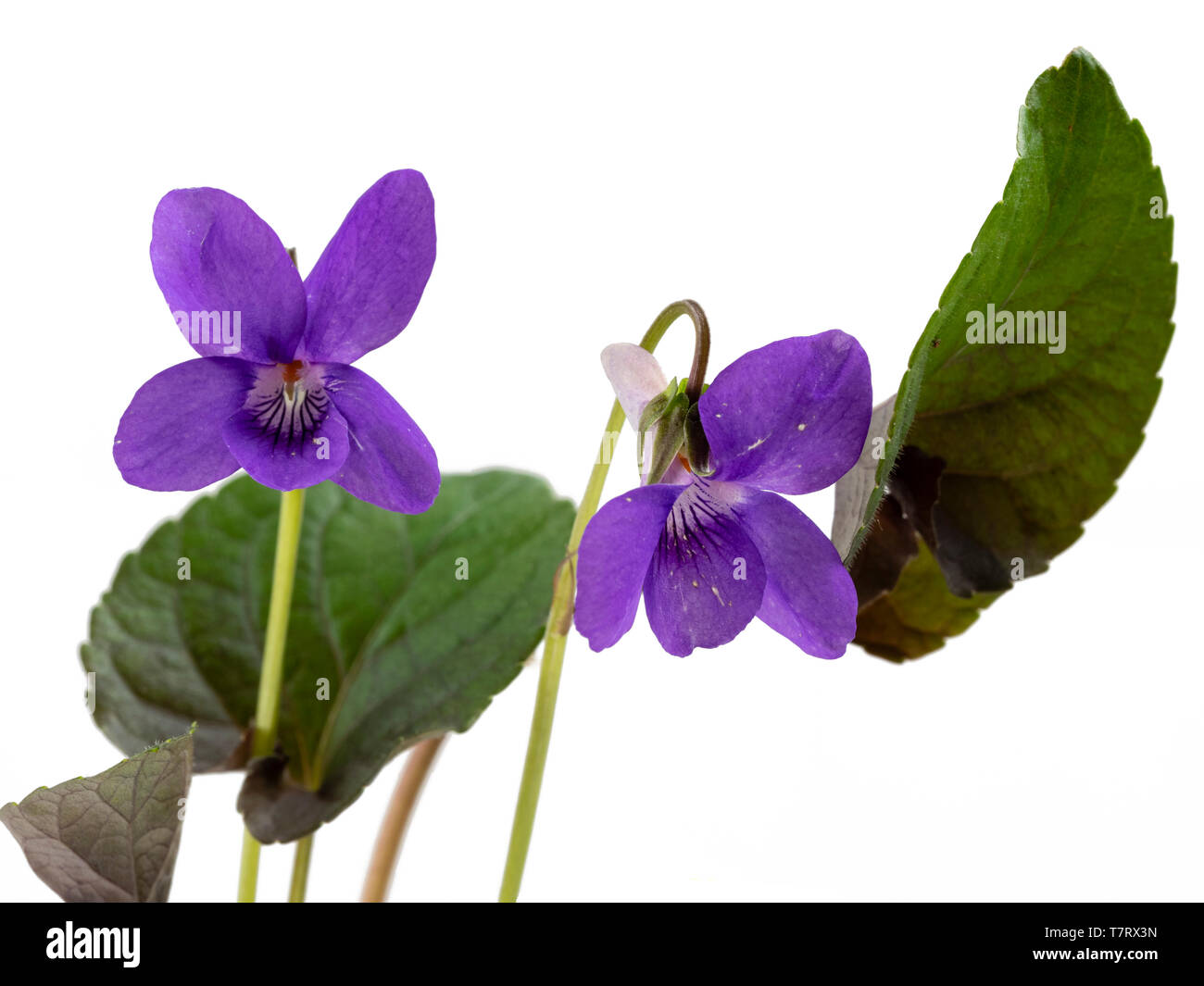 Dark foliage and flowers of the self seeding, spring flowering violet, Viola riviniana (Purpurea Group) on a white background - Stock Image