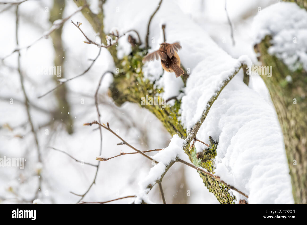 Closeup of one small brown carolina wren bird flying away on tree branch trunk during heavy winter snow colorful in Virginia with plumage wings Stock Photo