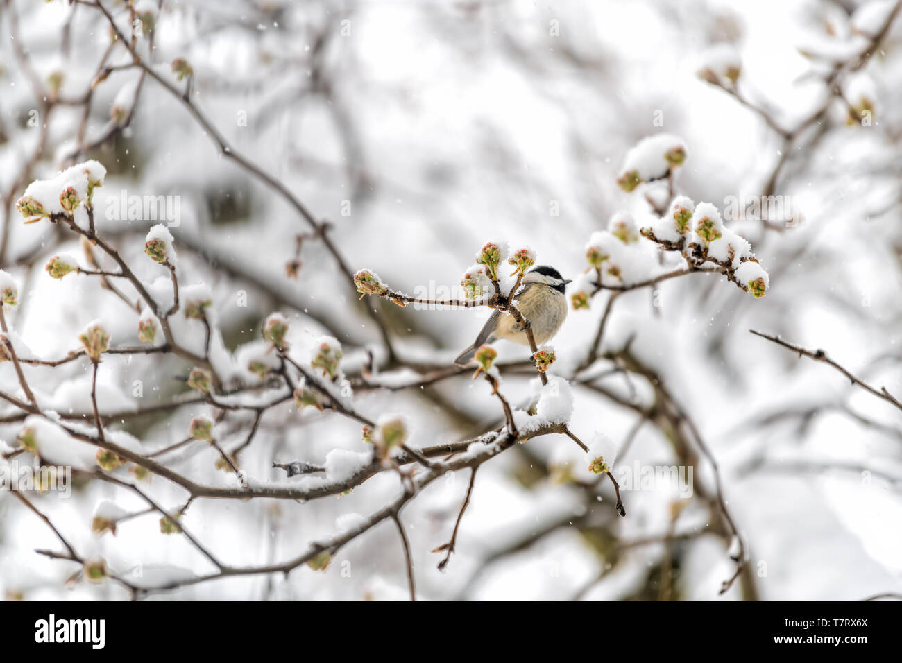 Closeup of one small brown carolina chickadee bird perched on tree branch during heavy winter snow colorful in Virginia with flower buds in spring - Stock Image