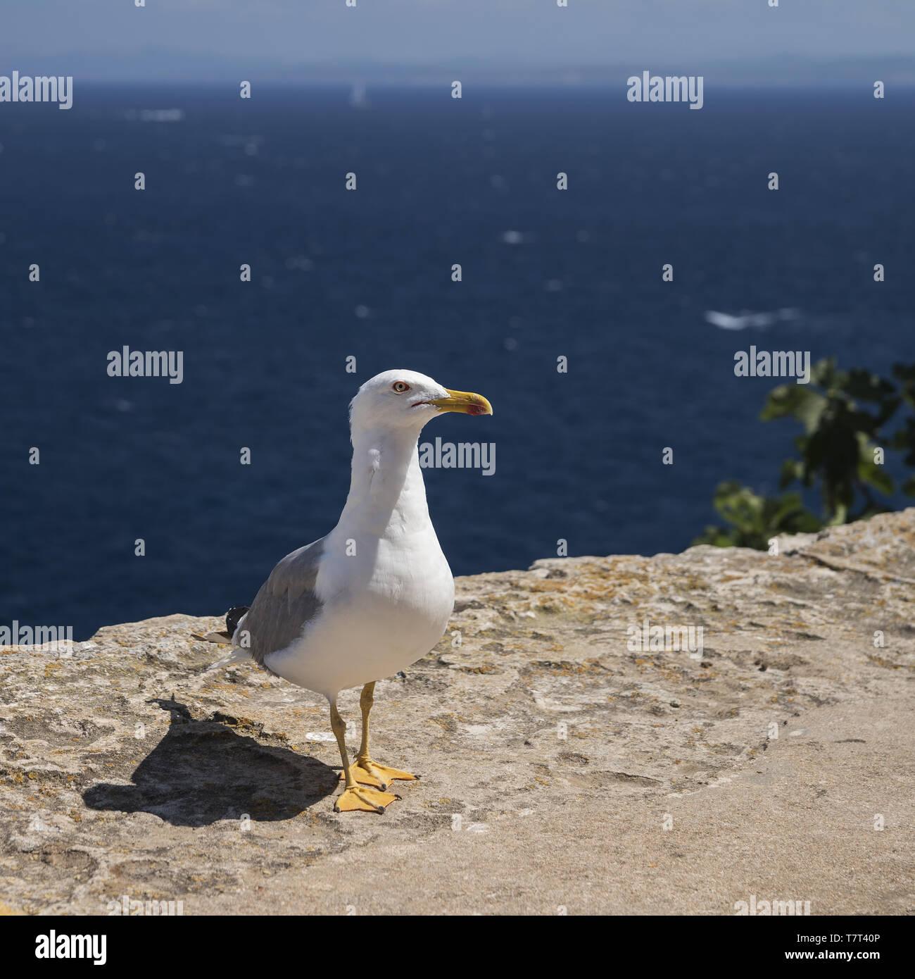Yellow-legged gull (Larus michahellis) close-up on the background of the sea. Mittelmeermöwe Nahaufnahme auf dem Hintergrund des Meeres. Mewa romańska Stock Photo