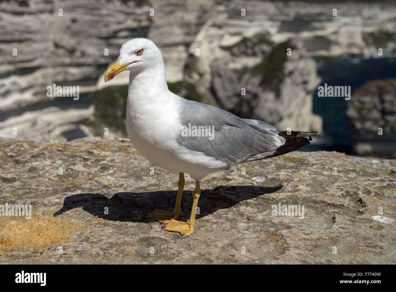 Yellow gull (Larus michahellis) close-up on a background of rocks. Mittelmeermöwe in Nahaufnahme vor dem hintergrund der Felsen. Mawa romańska. Stock Photo
