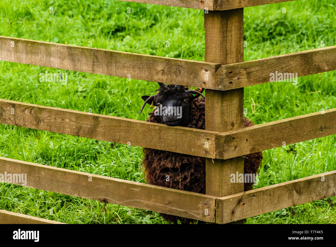 Horned Hebridean sheep looking through a wooden fence. Etal, Northumberland, UK. May 2018. - Stock Image