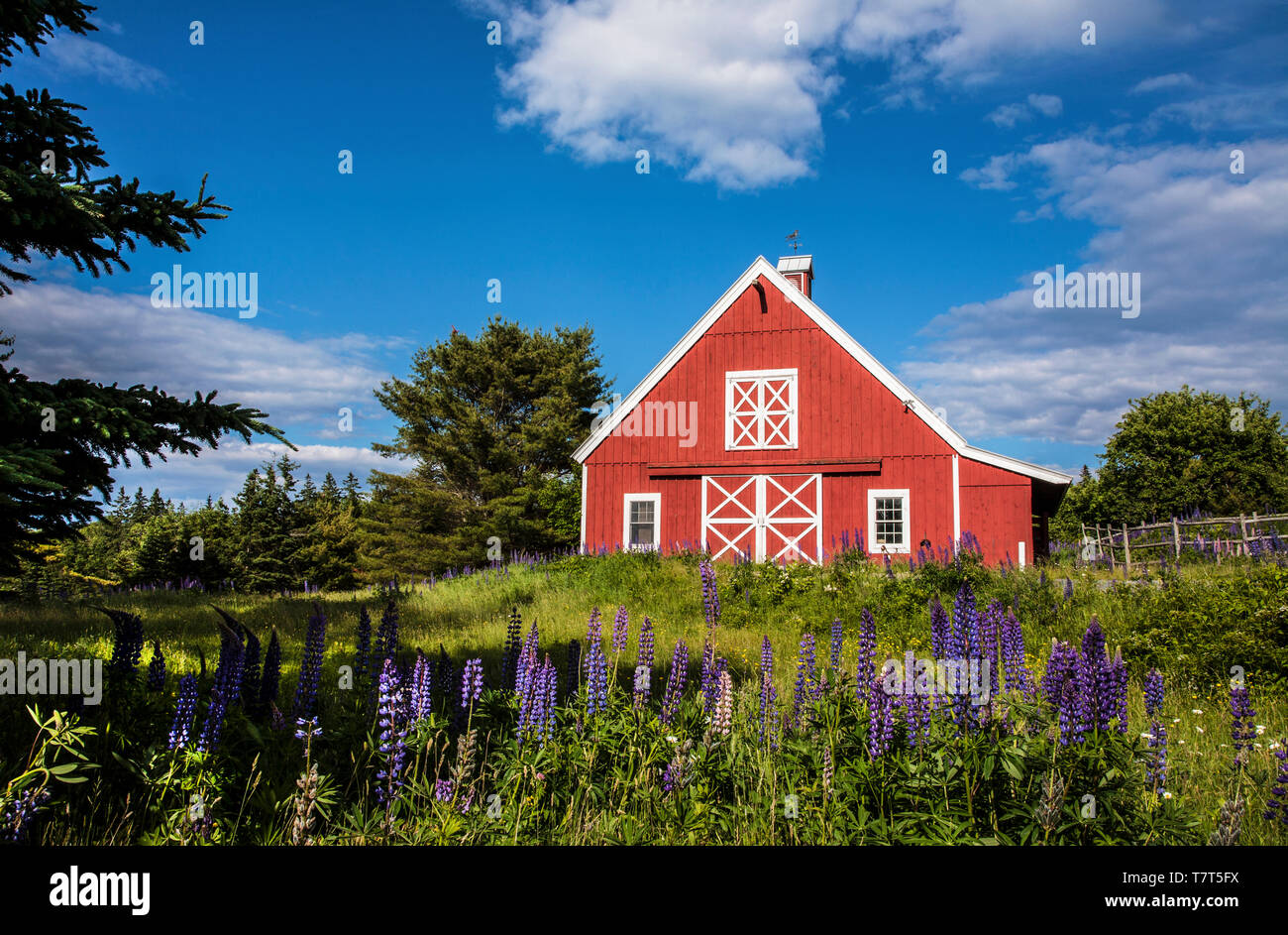 Red barn and lupine flowers, blue sky, Acadia National Park, Maine, USA,   FS 11.46 MB  300ppi - Stock Image