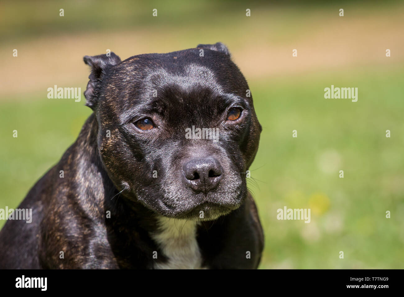 Portrait of a brindle Staffordshire Bullterrier - Stock Image