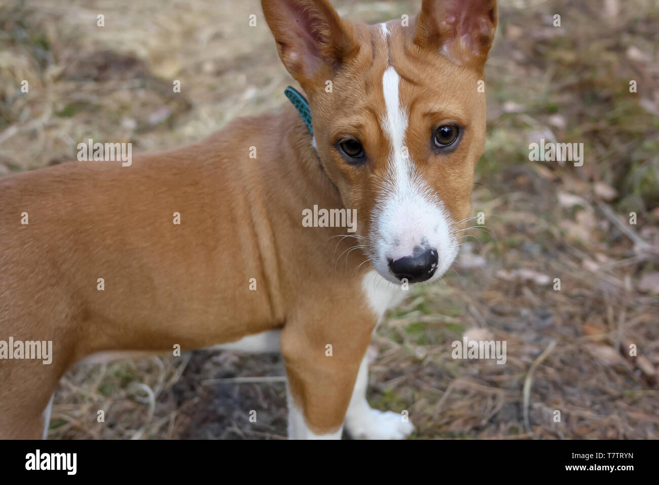 Close up portrait dog breed Basenji with short hair of white and red color, standing outside with forest in the background on summer - Stock Image
