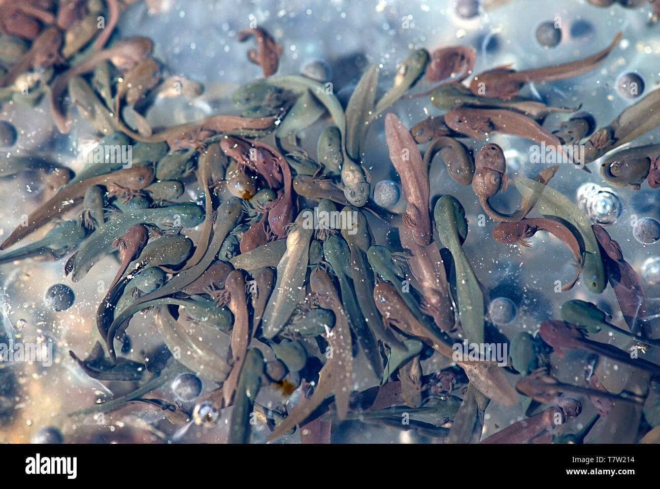 Common frog (Rana temporaria), tadpoles, Switzerland - Stock Image