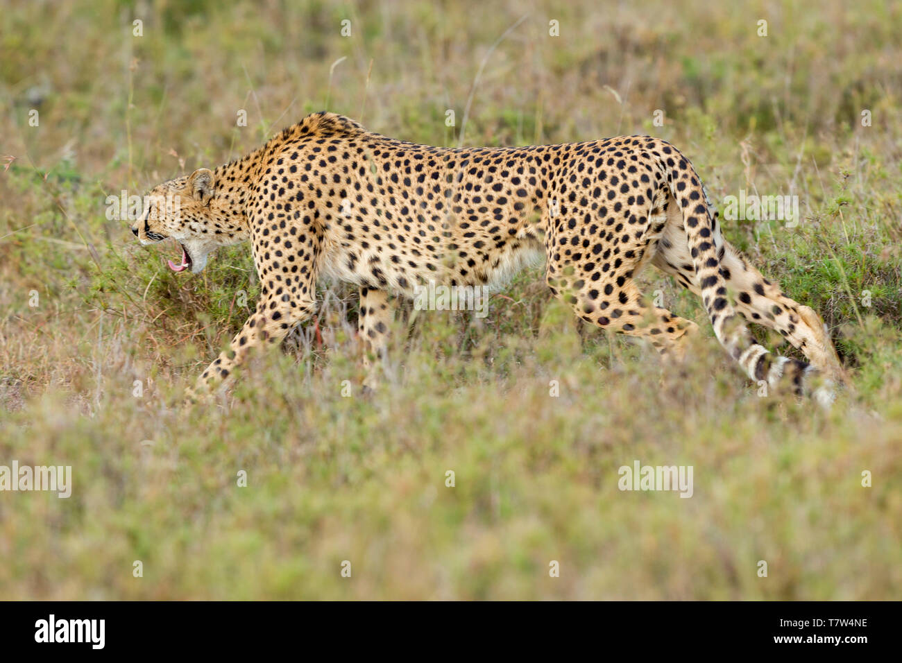 A female cheetah walking in open scrub and snarling, landscape format, Ol Pejeta Conservancy, Laikipia, Kenya, Africa - Stock Image