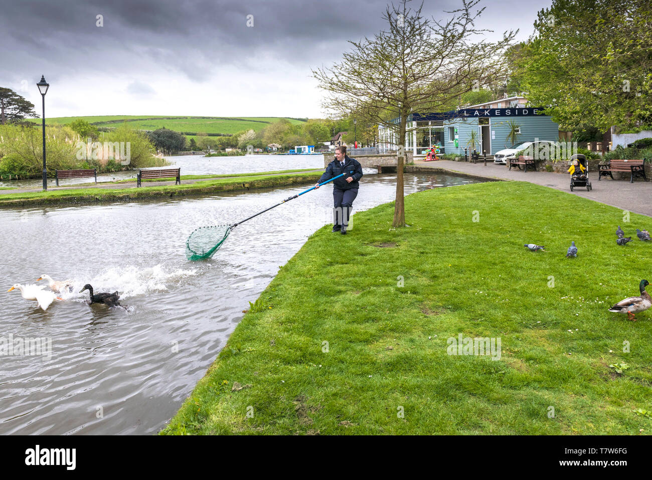 An RSPCA Animal Collections Officer attempting to catch an injured duck with a net in Newquay in Cornwall. Stock Photo