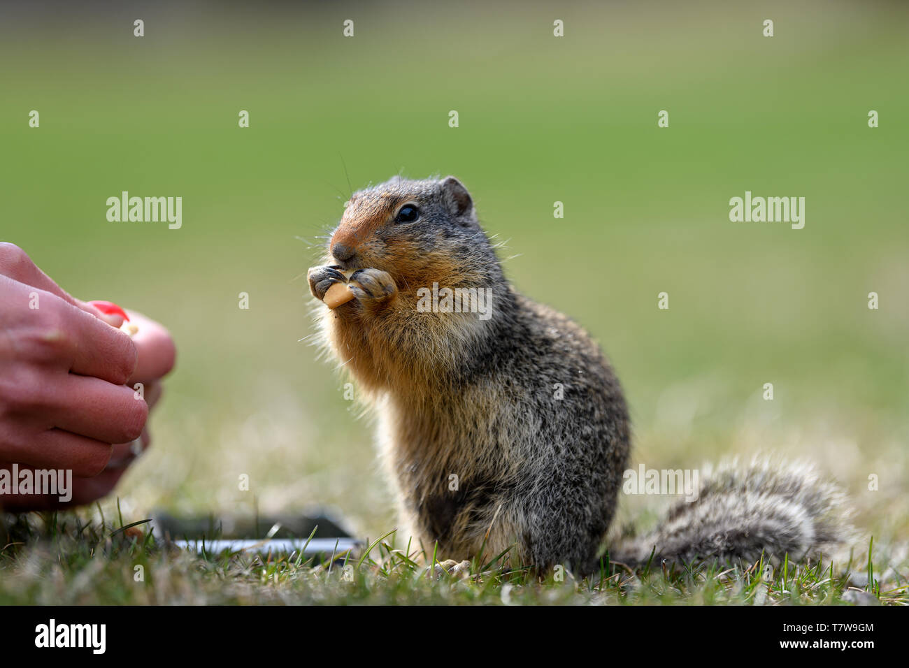 Columbian ground squirrel (Urocitellus columbianus) is begging a female park visitor for food, and just a little while later, it takes the food out of Stock Photo