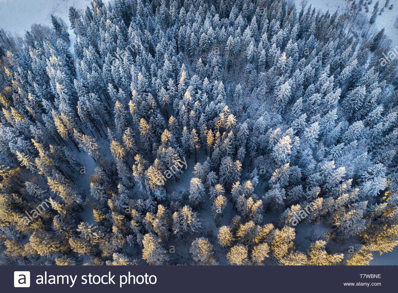 Drone point of view snow covered treetops in forest, Alberta, Canada - Stock Image