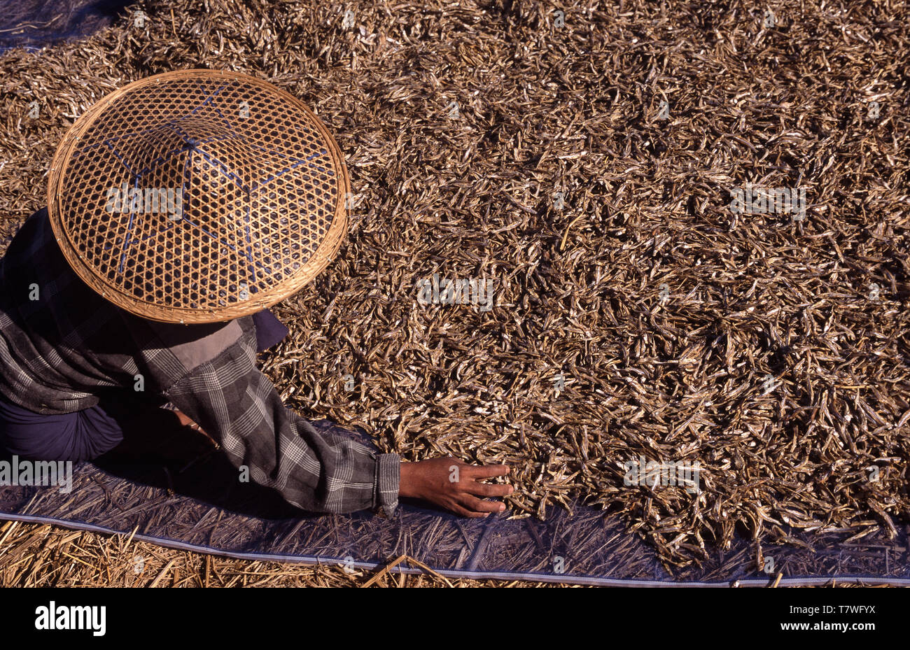 24.02.2008, Thandwe, Rakhine State, Myanmar, Asia - A woman is spreading out dried fish on Ngapali Beach. - Stock Image