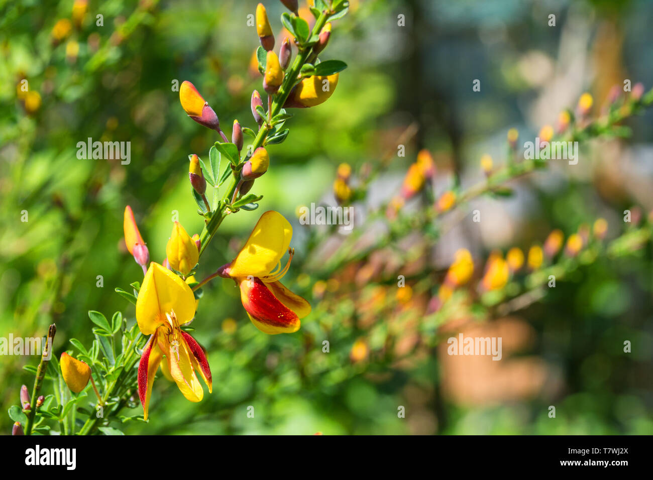 Yellow And Red Flowers On A Cytisus Scoparius A Perennial