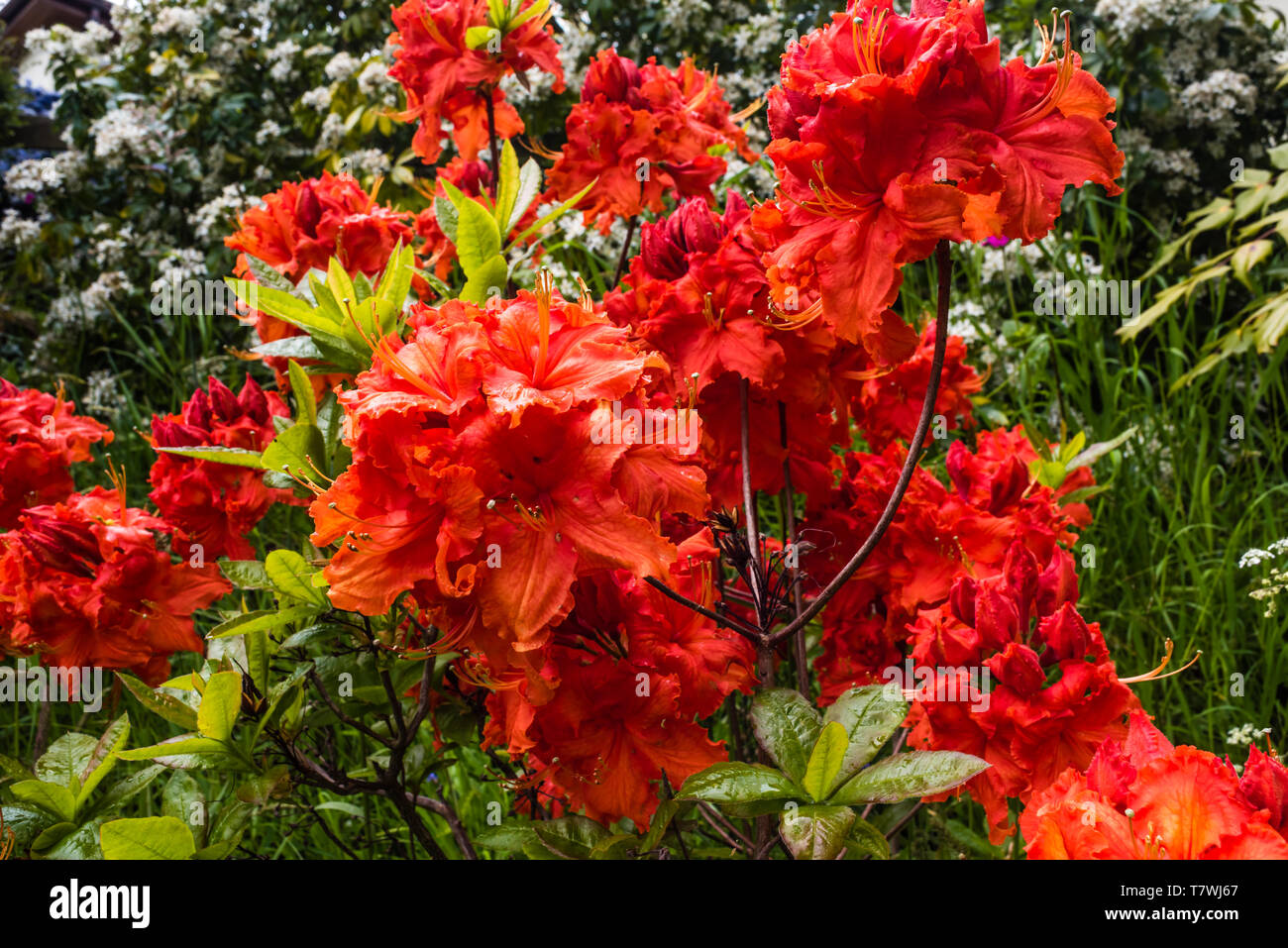 Azalea Gibraltar. A glorious display of flowers in May. - Stock Image