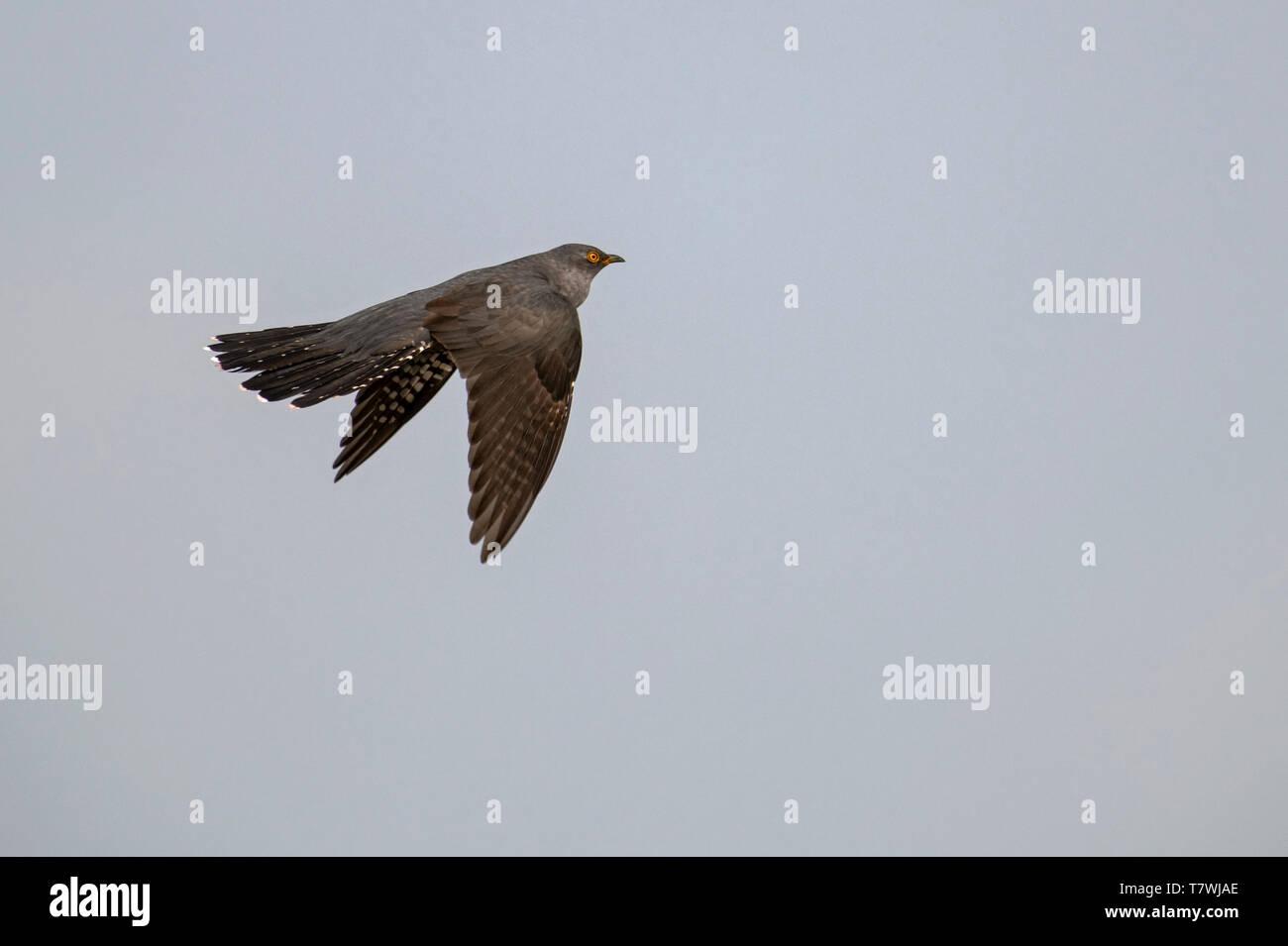 Male Cuckoo-Cuculus canorus in flight. Spring - Stock Image