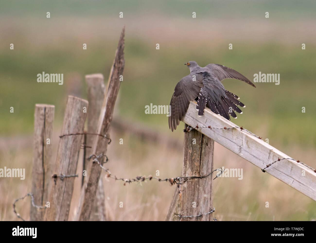 Male Cuckoo-Cuculus canorus displays. Spring - Stock Image
