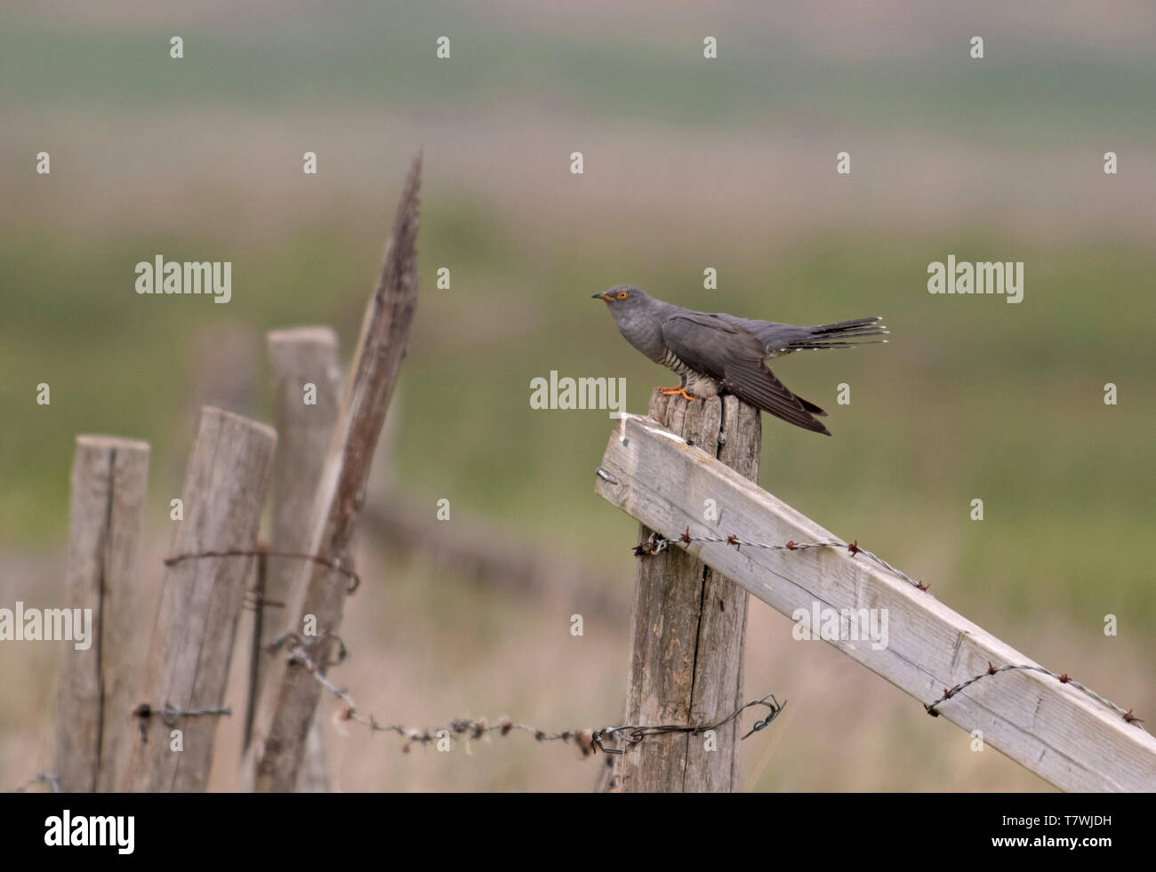 Male Cuckoo-Cuculus canorus displaying. Spring. - Stock Image