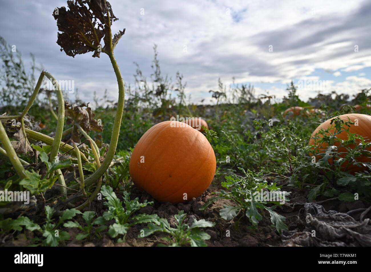 Pumpkins growing in a field in Norfolk - Stock Image