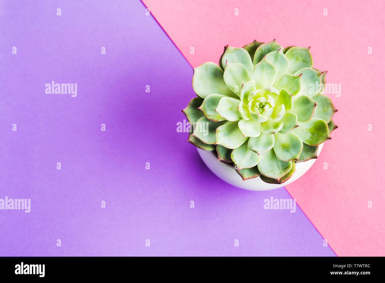 Succulent Plant In White Pot On Pink And Purple Background Flat Lay Copy Space Echeveria Chihuahuensis Stock Photo Alamy