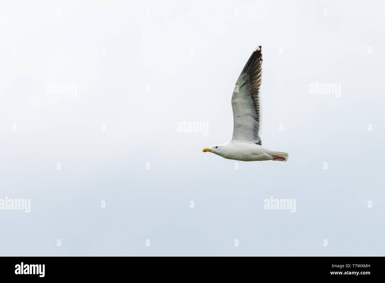 American Herring Gull (Larus argentatus) aka: Smithsonian Gull Stock Photo