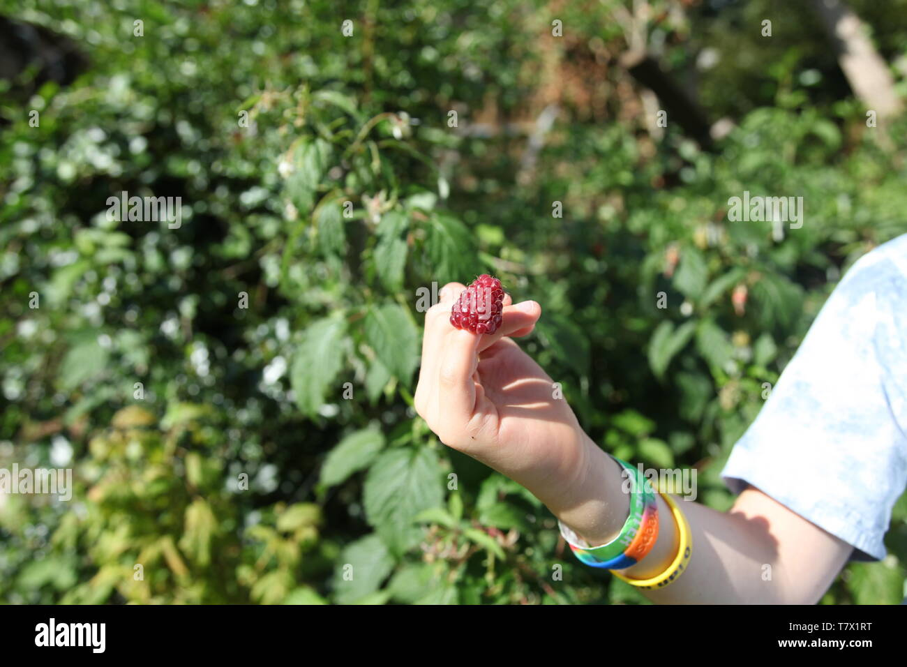 English, red, ripe Raspberry on a child's fingertip in a summer garden during daytime - Stock Image