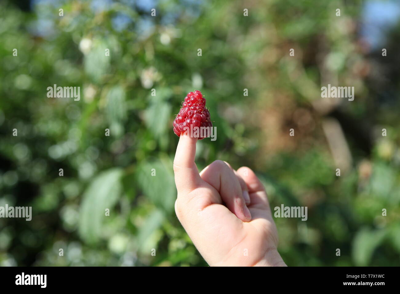 English, red, ripe Raspberry closeup on a child's fingertip in a summer garden during daytime - Stock Image